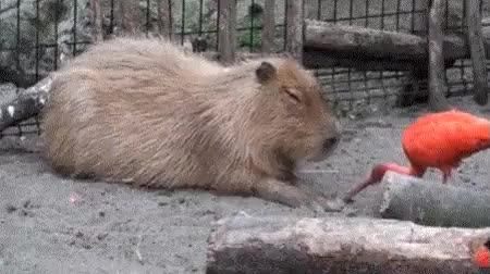Watch and share Capybara GIFs and Bird GIFs on Gfycat