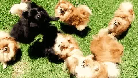Watch and share Nazi Pomeranian GIFs on Gfycat