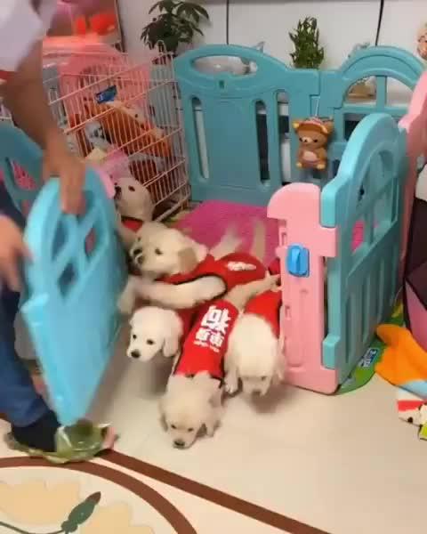 awww, babysitting, cuteness, doggie, doggos, dogsitting, dogsofinsta, feedingtime, goldenretriever, goldenretrieverpuppy, laughoutloud, littleone, mydogs, pets, petstagram, puppies, puppys, pups, toocute, tuesday, FEEDING FRENZY GIFs