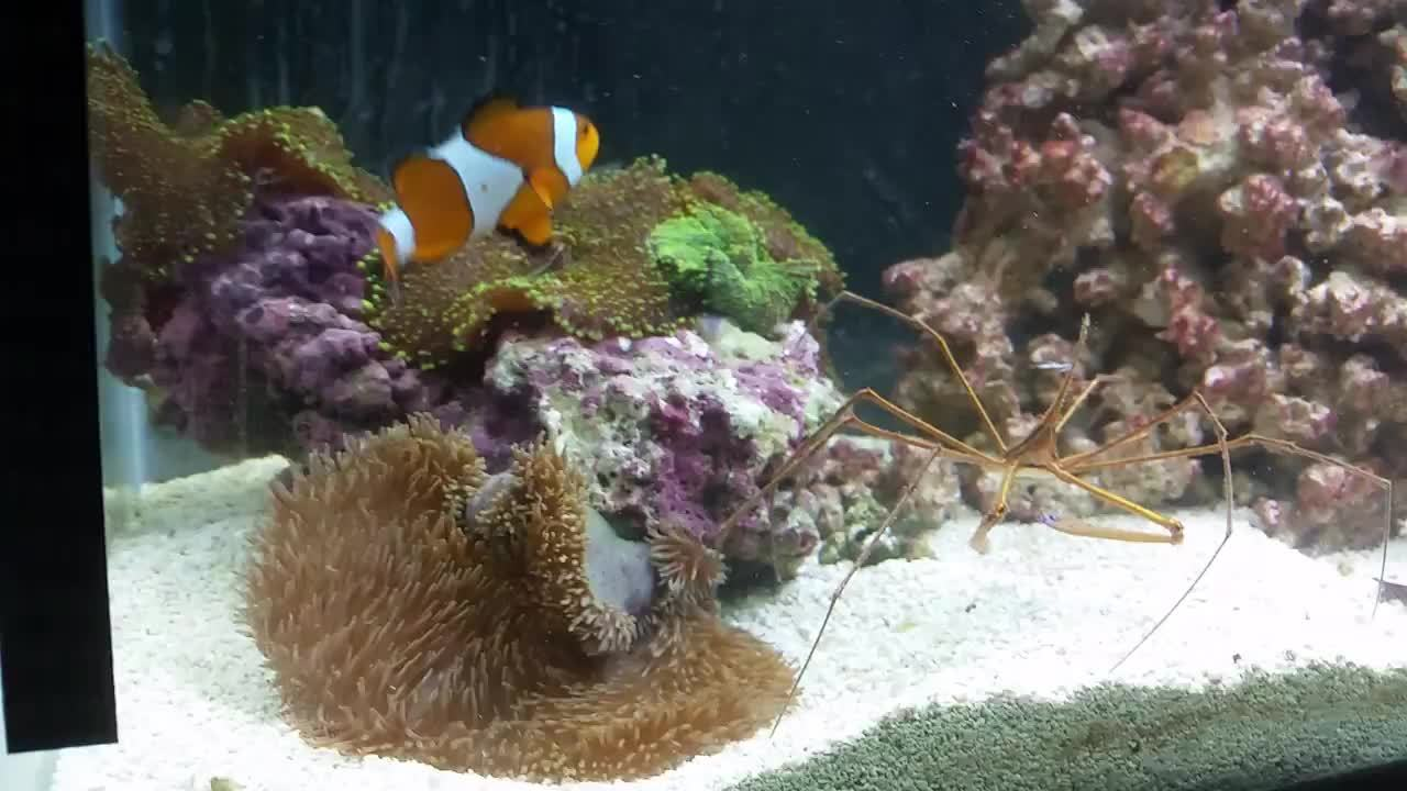 aquariums, reeftank, My clownfish protecting his anemone (reddit) GIFs