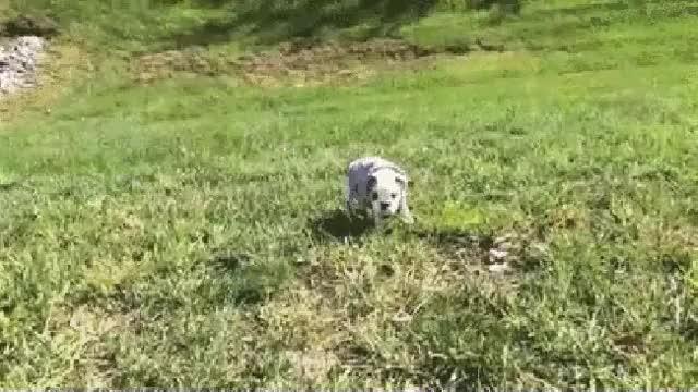 Watch and share Bulldog Puppy GIFs on Gfycat