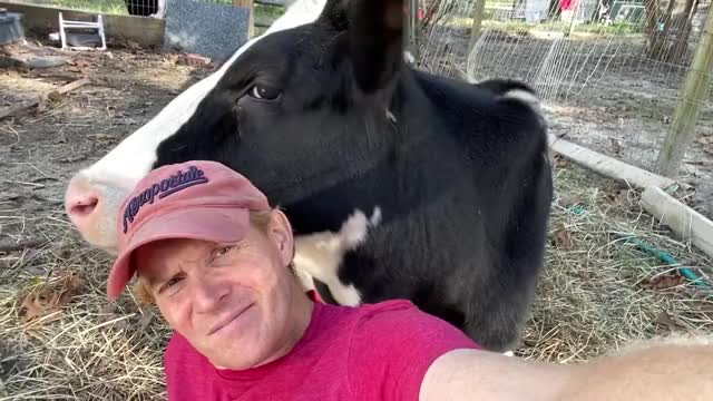 Watch and share Rescue Cow GIFs and Sanctuary GIFs by lnfinity on Gfycat