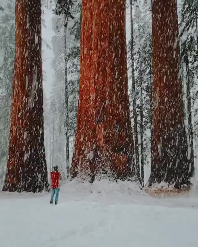 Watch and share Snowfall In Sequoias GIFs by vani  on Gfycat