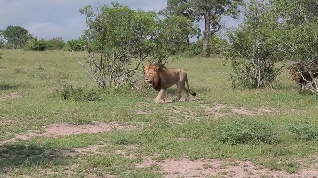 Watch Birmingham Walk 2 GIF by Londolozi Game Reserve (@londolozi) on Gfycat. Discover more related GIFs on Gfycat