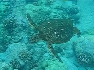 All Tags, Beach, Hawaii, Island, all tags, animals, beach, big, hawaii, island, ocean, steps, swim, tortoise, turtle, two, Swimming Turtle GIFs