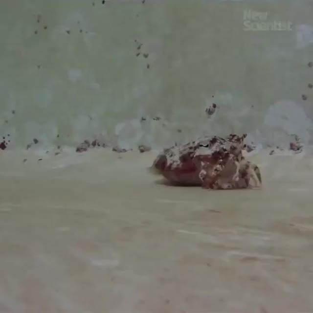 Watch Cuttlefish doing an impression of a hermit crab 🔥 (reddit) GIF on Gfycat. Discover more NatureIsFuckingLit GIFs on Gfycat