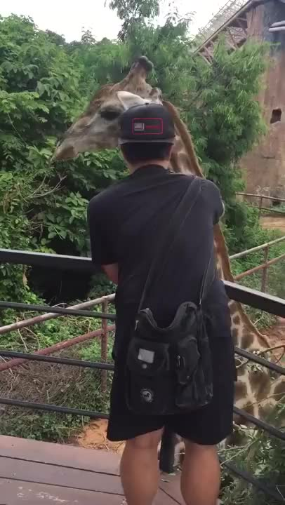 Watch Headbutting Giraffe GIF by @ninjadiscojesus on Gfycat. Discover more related GIFs on Gfycat