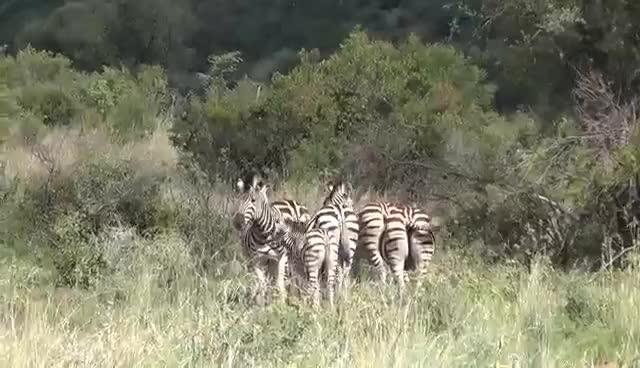 Zebras Mating Gif Find Make Share Gfycat Gifs