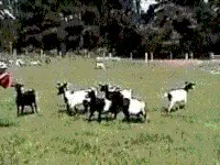Watch sheep GIF on Gfycat. Discover more related GIFs on Gfycat