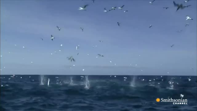 Watch Gannets Plunge into the Sea GIF on Gfycat. Discover more Oceans GIFs on Gfycat