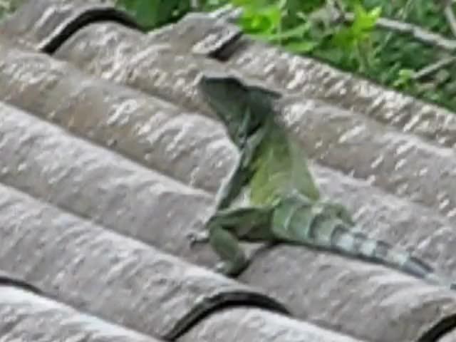 Watch Ecuador Iguana on roof GIF by @organicredditor on Gfycat. Discover more dallasstars, hockey GIFs on Gfycat