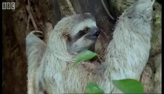 Watch this sloth GIF on Gfycat. Discover more animal, sloth GIFs on Gfycat