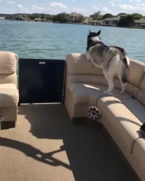 dog, puppy, The coolest husky you will ever see GIFs