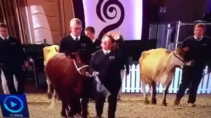 Watch and share Cows Gif GIFs on Gfycat