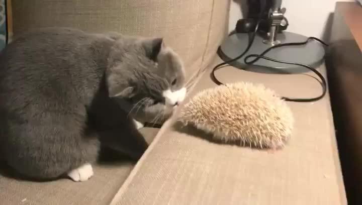 animals, cat, hedgehog, Kitty meets hedgehog... GIFs