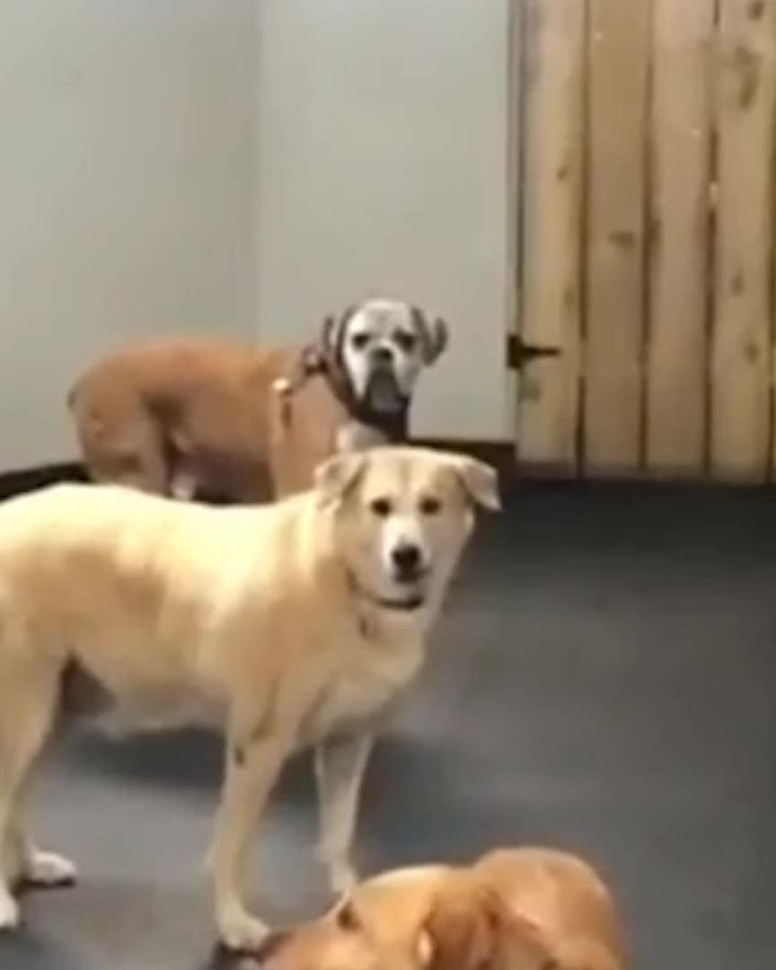 dog, Laughing Dog GIFs