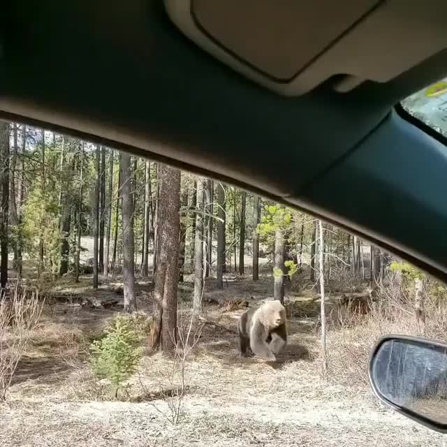Grizzly bear getting chased by another grizzly in Banff National Park GIFs