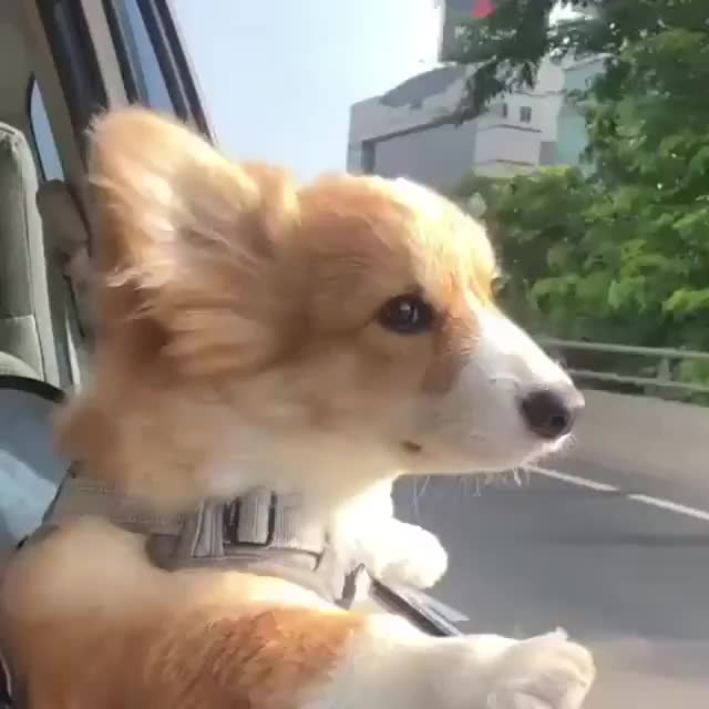 Watch and share Corgi Discovers The Wind GIFs by tothetenthpower on Gfycat