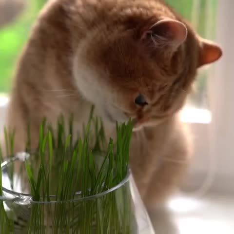 cat, oat grass GIFs