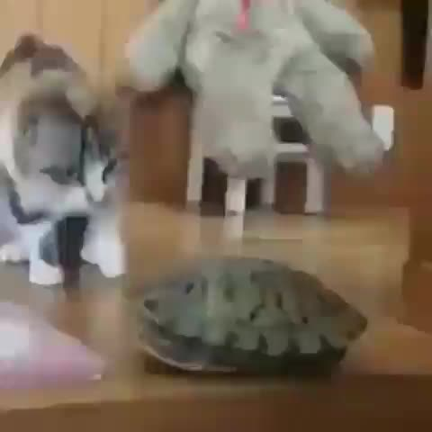 cat, turtle, This thing is so weird I must turn upside down to touch it GIFs
