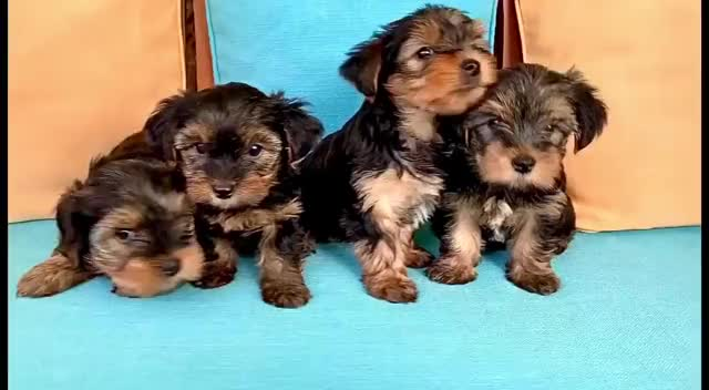 Watch and share ~☀️Last Mini YORKIE Toy: INBOX!☀️~ ————————————————— 🔻 BB YORKSHIRE NAIN - Ma... GIFs by Оксана on Gfycat