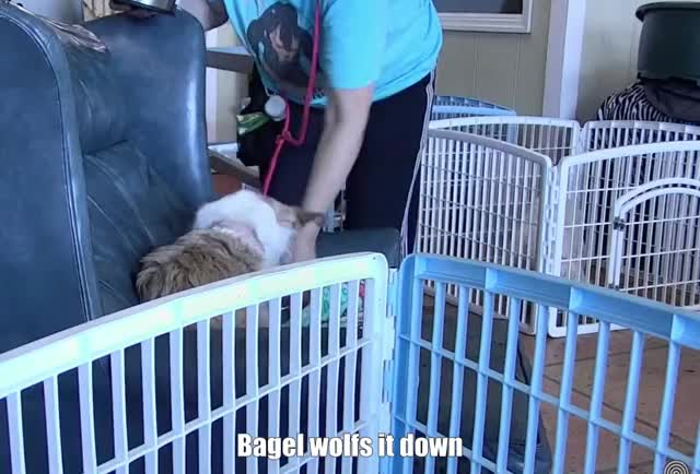 Watch and share Bagel Wolfs It Down! GIFs by Bones on Gfycat