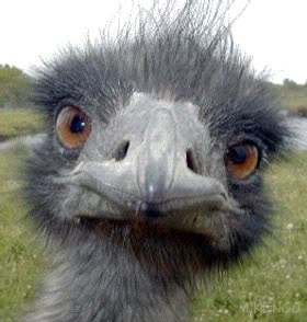 Watch and share Emu GIFs on Gfycat