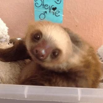 Watch this sloth GIF on Gfycat. Discover more animals, sloth GIFs on Gfycat