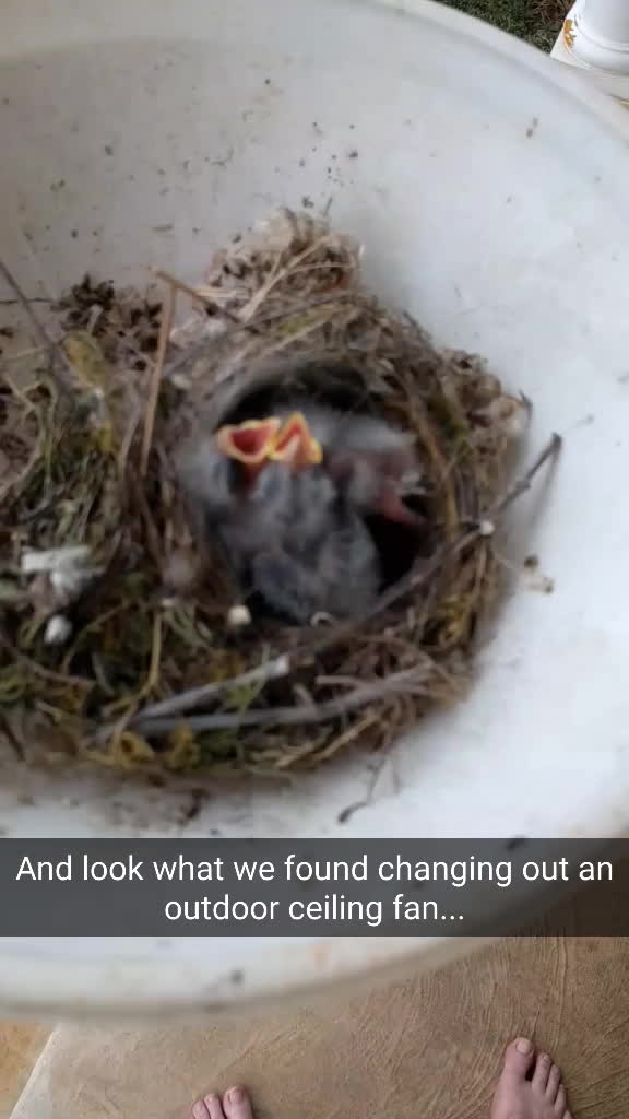 aww, babybeastgifs, birb, This afternoon we were changing out a ceiling fan on the back patio. This is what we found this inside the dome for the lights. (reddit) GIFs