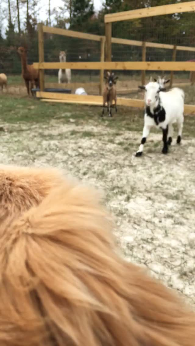 Watch and share Animals GIFs and Goats GIFs by 1ongschlong on Gfycat