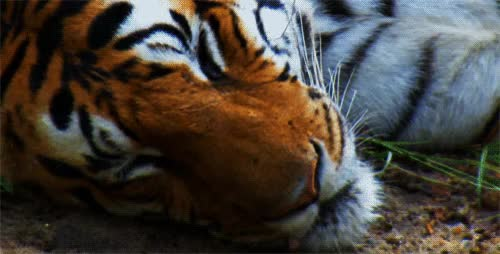 Watch and share Tigers GIFs on Gfycat