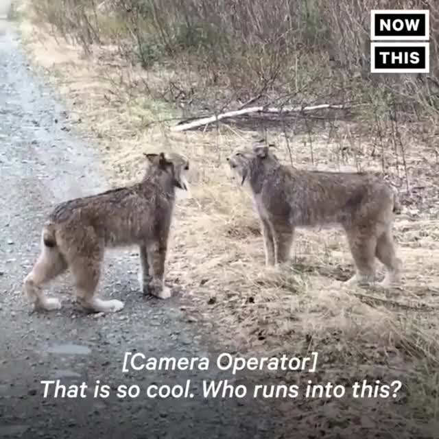 Watch and share Two Lynx Yell At Each Other In Rare Display GIFs by drzydrzy on Gfycat