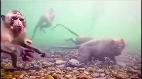 Watch and share Underwater GIFs and Macaques GIFs by esberat on Gfycat