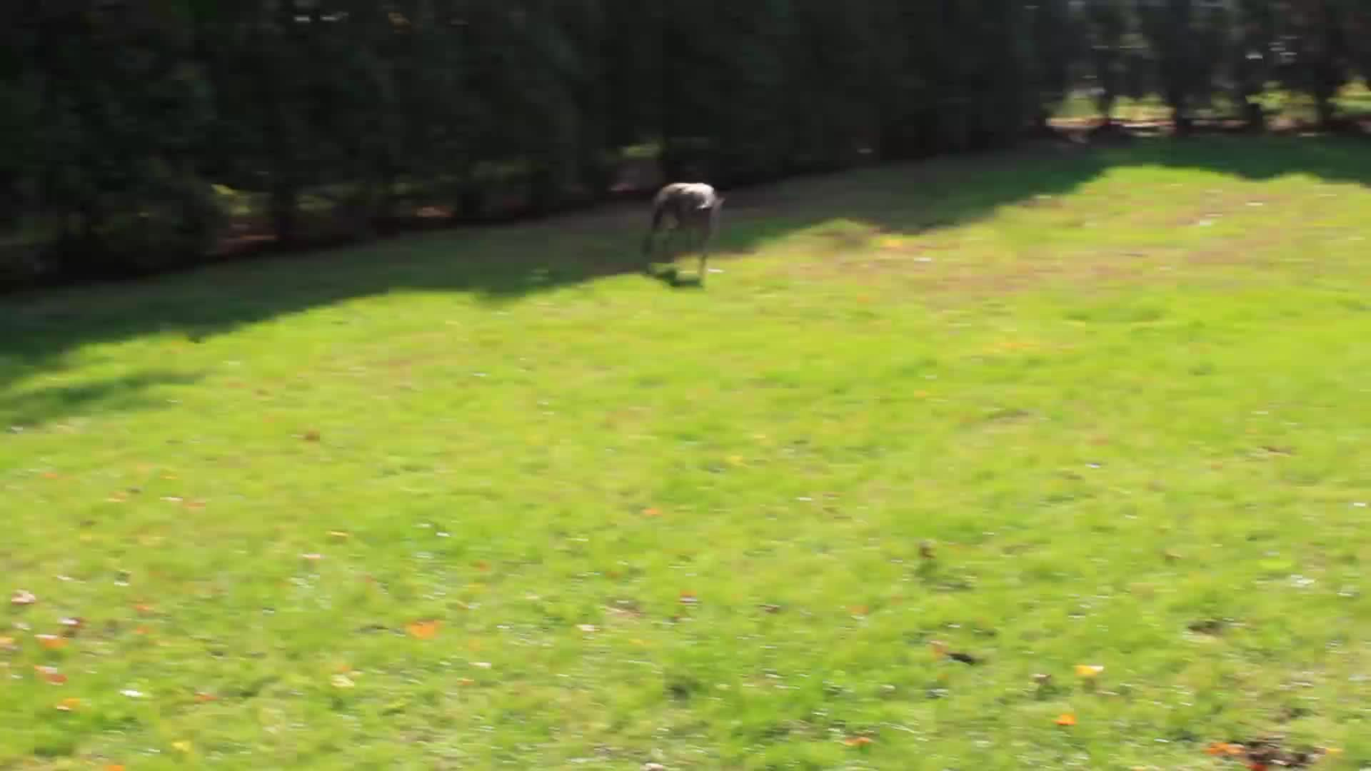 Autumn, Dogs, Fall, Greyhound, Leaf, Leaves, Playing, Greyhounds playing in leaves. GIFs