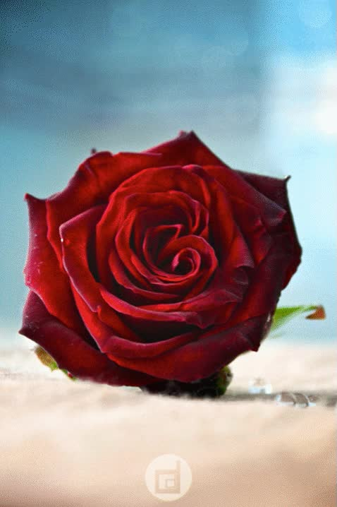Watch and share Red Roses ... Gif By:  Hal Grey Hawk Brower GIFs on Gfycat
