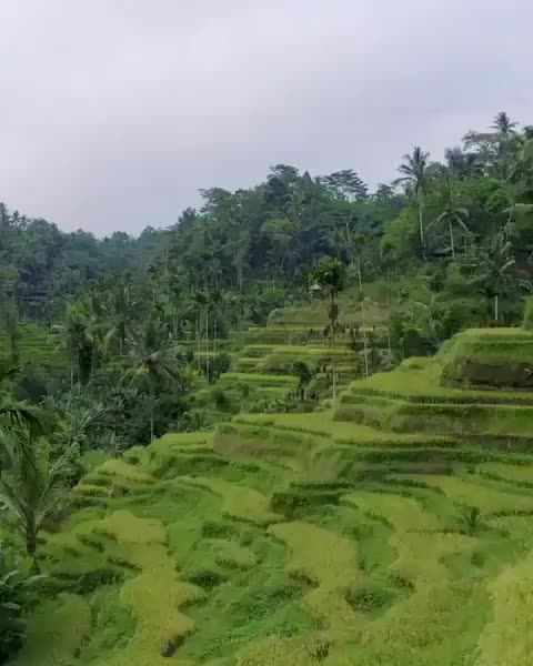 amazing, blending, funny, haha, indonesia, lol, naturegeography, rice, unexpected, Trying to blend as a local in Bali, Indonesia 🇮🇩 rice fields Video by @moderntarzan GIFs