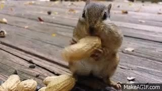 Watch this animal GIF on Gfycat. Discover more animal, animals, chipmunk, chipmunks GIFs on Gfycat