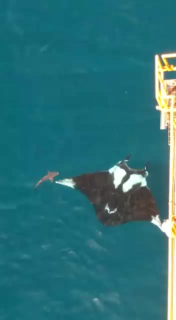 Watch and share Manta Ray GIFs on Gfycat