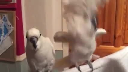 Birbs, birbs, cockatoo loves elvis GIFs