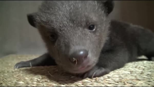 bearcubgifs, Very young brown bear cub learning to crawl (reddit) GIFs