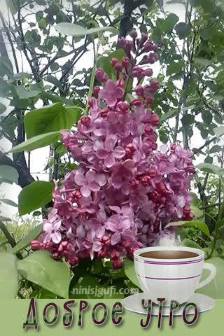 coffee, cup, goodmorning, lilac, morning, spring, Доброе утро, кофе, сирень, чашка, Сирень .... Доброе утро ..... GIFs