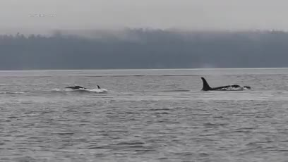 Watch and share Pacific Northwest GIFs and Killer Whales GIFs on Gfycat