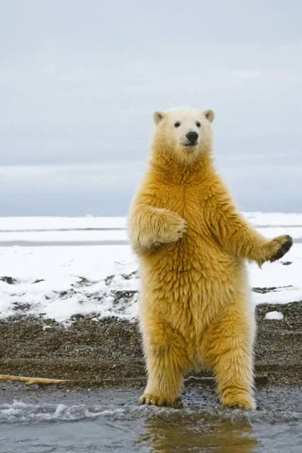 Watch and share Good Morning, Have A Dancing Polar Bear GIFs on Gfycat