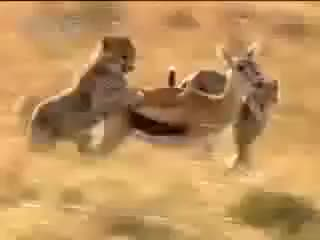 Watch and share Lion Hunting GIFs on Gfycat