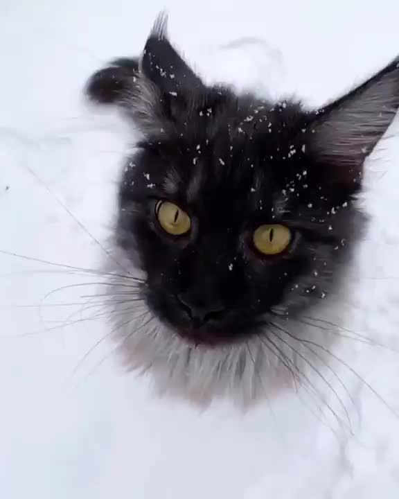 cat, cats, snow, snowflake, Majestic cat gets a snowflake up the nostril GIFs