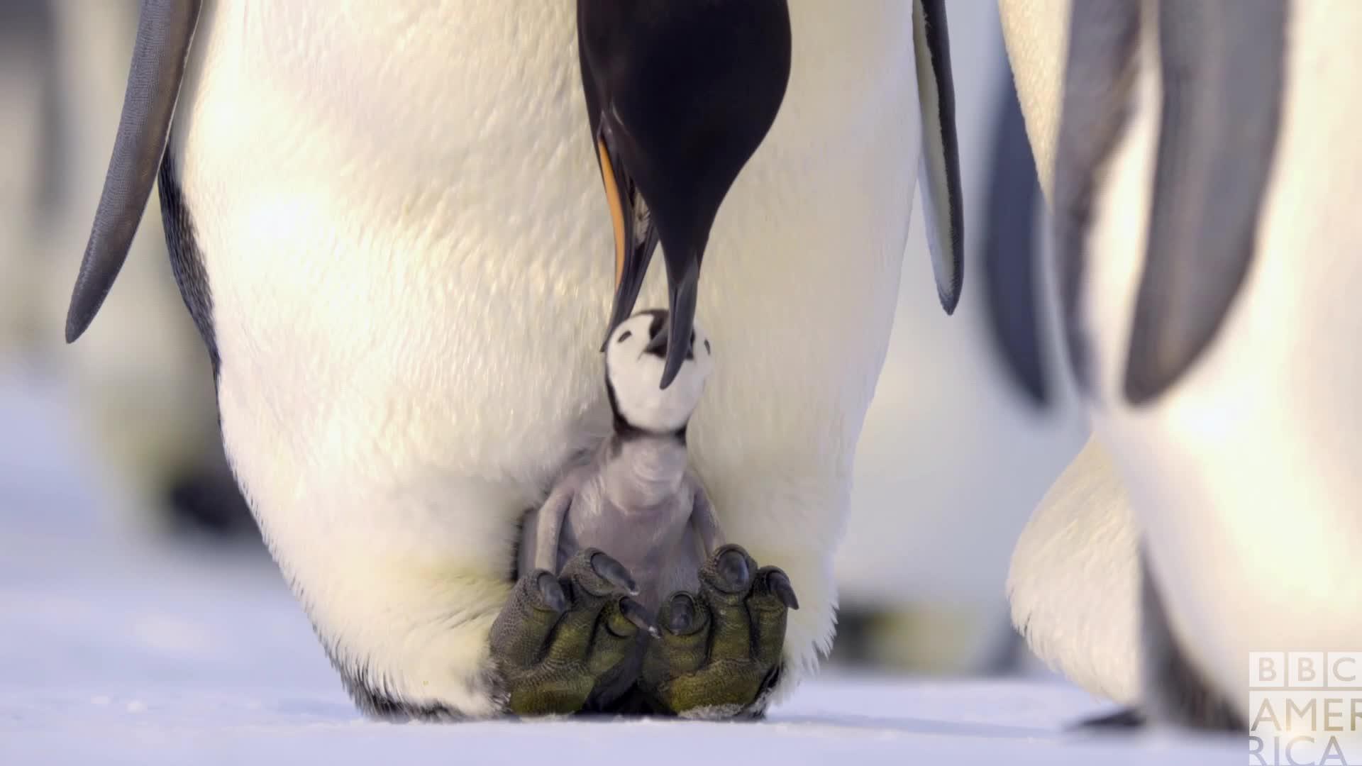 animal, animals, bbc america, bbc america dynasties, bbc america: dynasties, cute, dynasties, emperor penguin, emperor penguins, ewww, feed me, gag, hungry, penguin, penguins, Dynasties Hungry Penguin Chick GIFs