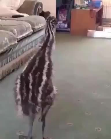 Emu growing up with dog think he is a dog - gif