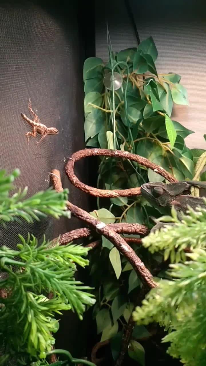 natureismetal, Chameleon eats lizard 60fps SlowMO GIFs