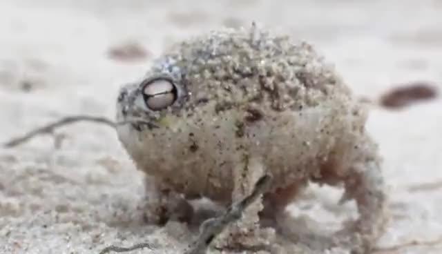 Watch and share Worlds Cutest Frog - Desert Rain Frog GIFs on Gfycat