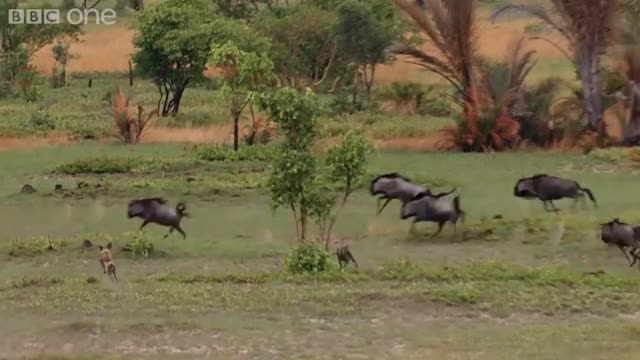 Watch and share African Wild Dogs Hunting Wildebeest GIFs on Gfycat